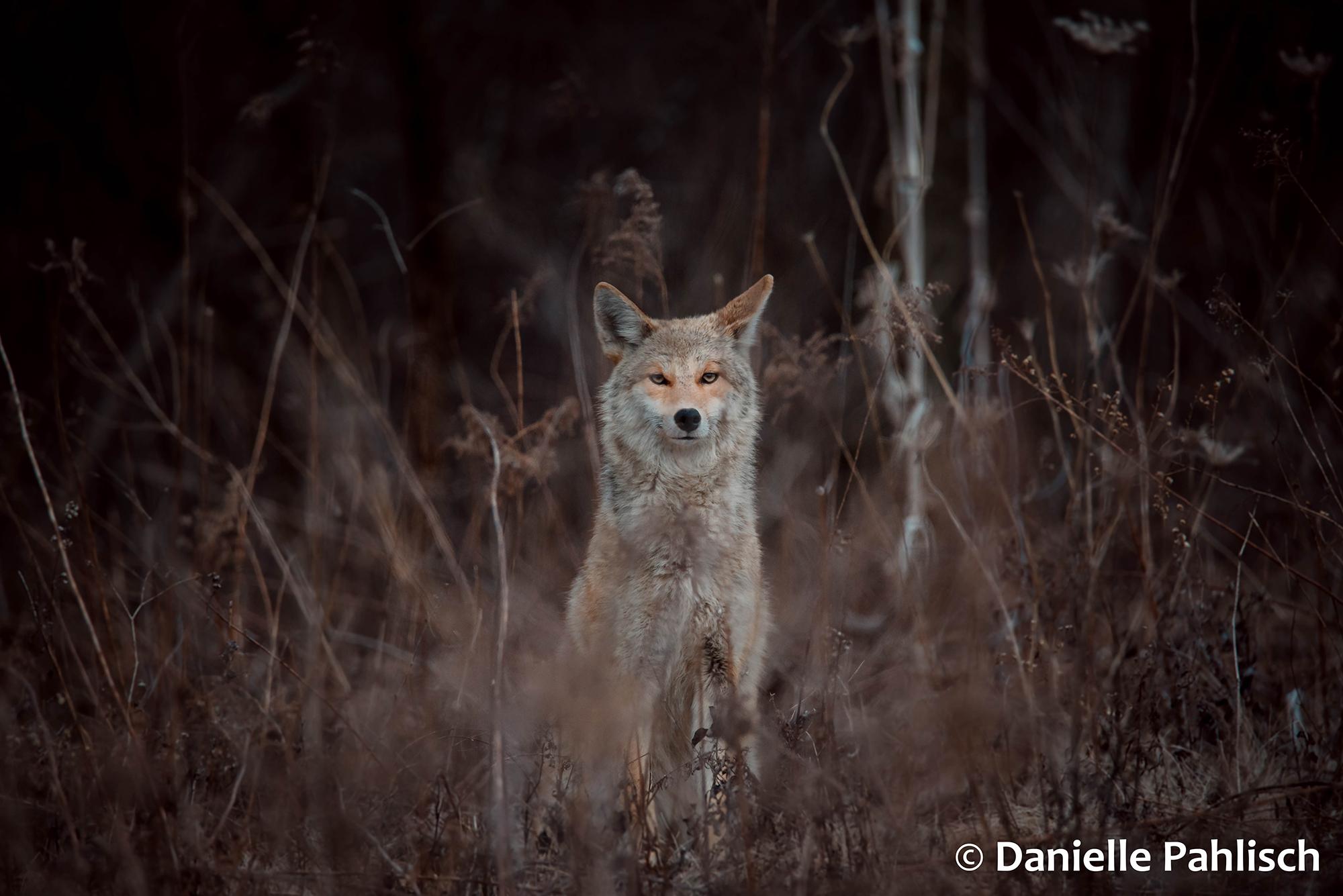 Coyote of Sanctuary Woods - Danielle Pahlisch