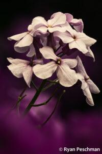 Purple On Black - Ryan Peschman